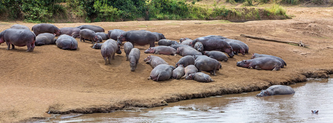 Pod of Hippo Lying Together in Africa