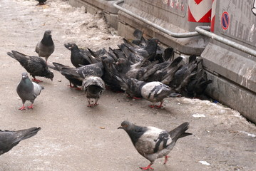 hungry pigeons, hungry pigeons on the streets of the city