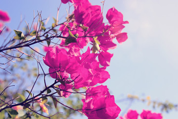 Poster Pink Dreamy image of blooming bougainvillea flowers.