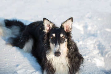 Black and white fluffy borzoi dog with the big ears lies on snow and looking in camera
