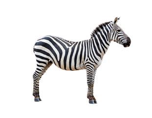 Profile Grevys Zebra Isolated on White