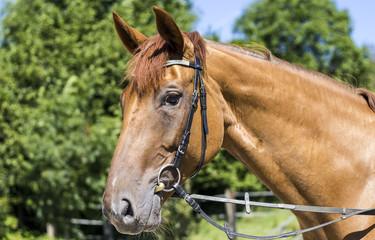 Brown horse looking friendly