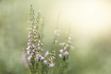 Foto auf Leinwand Olivgrun Heather. A purple-flowered Eurasian heath that grows abundantly on moorland and heathland.