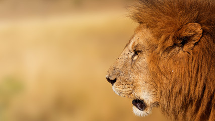 Closeup African Lion Profile Banner