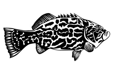 Black grouper on white