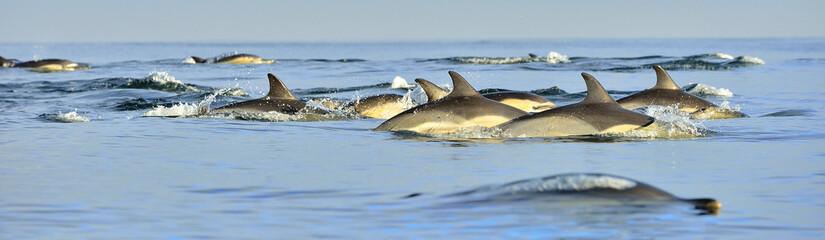 Deurstickers Dolfijn Dolphins, swimming in the ocean. The Long-beaked common dolphin (scientific name: Delphinus capensis) in atlantic ocean.