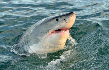 Great white shark with open mouth. False Bay, South Africa, Atlantic Ocean.