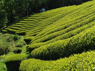新茶の香り漂う茶畑