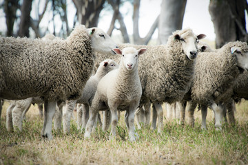 Lamb among the sheep