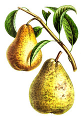 Illustration of pear.