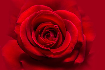 Background macro red roses