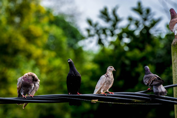 Close up group of pigeon were lining up on black electric cable, selective focus