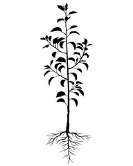 Silhouette biennial pear tree seedling