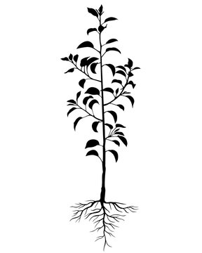 Silhouette biennial pear tree seedling