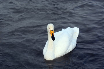 white swans and ducks swimming on the water in the winter