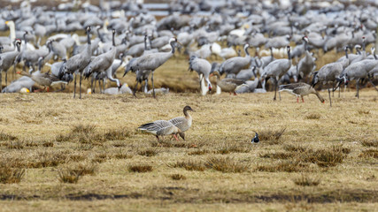 Flock with cranes and two Taiga bean goose on a field
