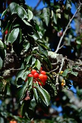 Cherries ripening on a tree in the Monchique mountains, Algarve, Portugal.