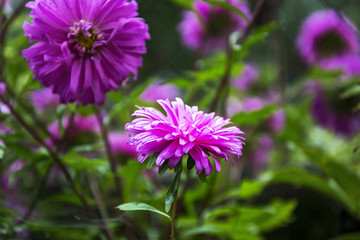 Pink Aster close up on blurred background