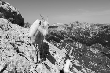 Wall Mural - Young goat stands on a rock in the alps of Slovenia