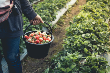 Strawberry, keep strawberries fresh from the farm