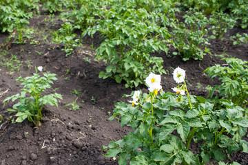 Potato flowers in the summer garden