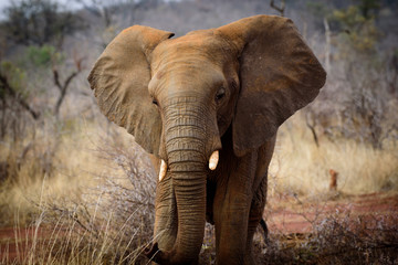 Baby Elephant of Madikwe