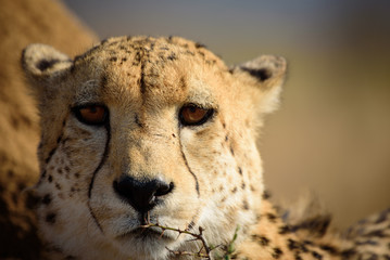 Watchful Cheetah from Madikwe