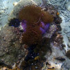 amphiprion perideraion fish