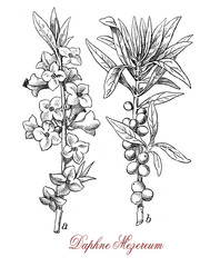 Vintage engraving of Daphne mezereum or February daphne, ornamental shrub cultivated in garden with scented flowers and poisonous berries.