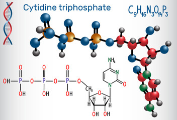 Cytidine triphosphate (CTP) molecule, it is pyrimidine nucleoside molecule, is a substrate in the synthesis of RNA. Structural chemical formula and molecule model