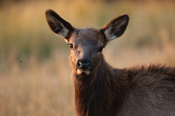 Elk (Wapiti), Cervus elephas, Yellowstone National Park, Wyoming, United States