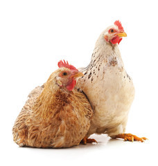 Two young chickens.