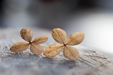 zwei trockene Hortensienblüten, Design für Trauerkarte