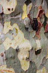 london plane tree's mottled bark