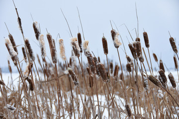 Overgrown reeds in winter on the lake