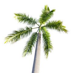 Coconut tree isolated on white background . tropical tree