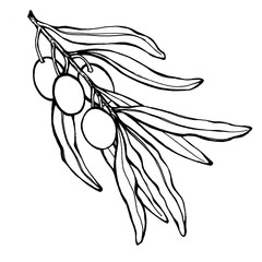Graphic of olive branch with ripe fruit and leaves. Realistic illustration of olives. Black and white outline illustration, hand drawn work. Isolated on white background. For pattern, frame, border.