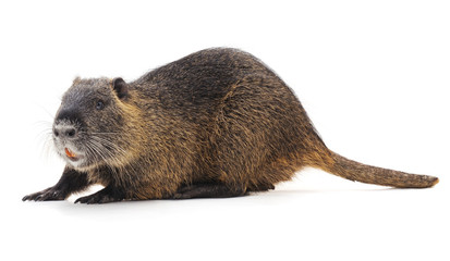 Large brown nutria.