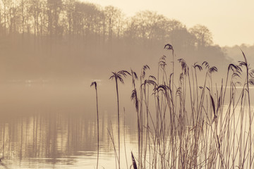 Reed silhouettes by a lake in the morning mist