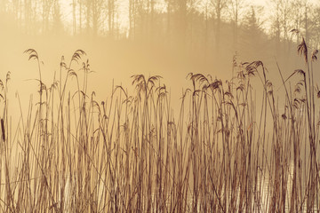 Tall reeds by a lake in the morning sun with misty weather