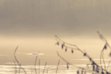Swan taking a morning swim on a misty lake