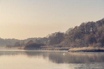 Swan on a misty lake near a forest in the morning