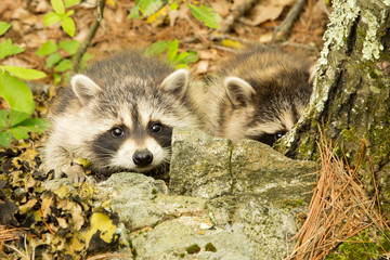 Two cute racoon kits