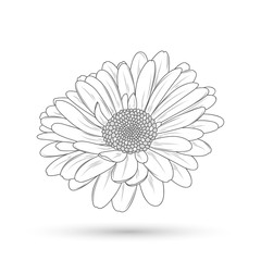 Monochrome Gerbera flower painted by hand. Element for design and creativity.