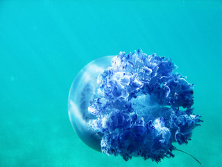 Jellyfish under blue water in the sea swimming away