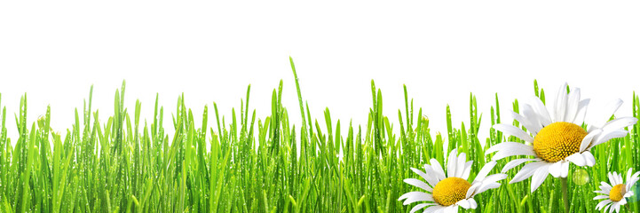 Fototapete - fresh spring green grass with drops of dew and flowers chamomiles, isolated on white background, border design panoramic banner