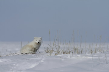 Arctic fox (Vulpes Lagopus) sitting next to grass, with snow on the ground, near Arviat Nunavut