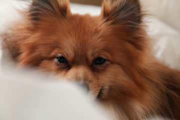 Pomeranian Pillow Forground