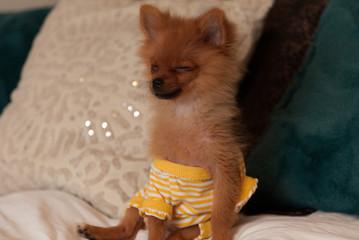 Pomeranian Pajama Pillow Funny