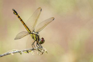 Image of Urothemis Signata dragonflies(female) on the branches on a natural background.